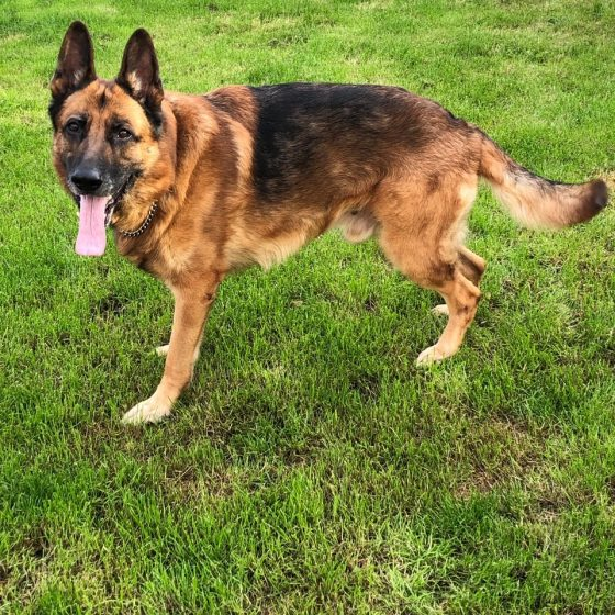 Adoption Second Chances German Shepherd Rescue