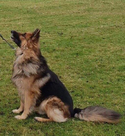 Casper Second Chances German Shepherd Rescue